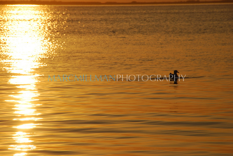 Golden sunset swim (Fri 5 15 09)