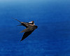 Frigatebird Sratching His Back