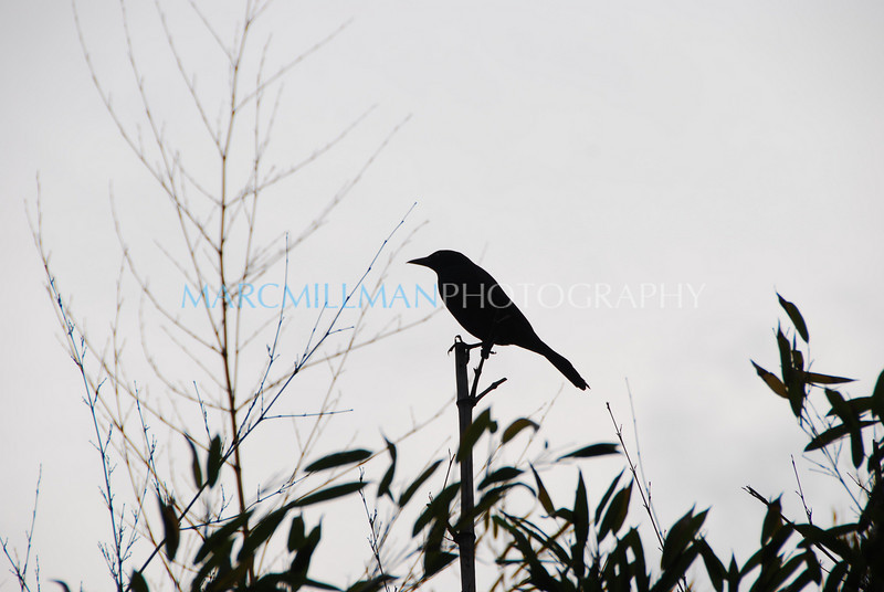 Crow2 (Memorial Day- Mon 5 24 09)