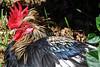 Rooster (Bermuda Botanical Gardens- Fri 10 9 09)
