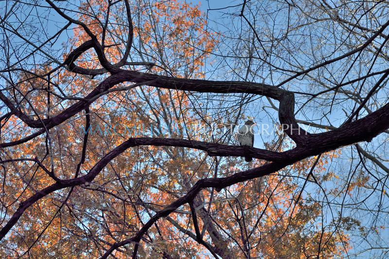 Pale Male (Central Park- Sun 11/13/10)