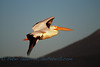 Pelican Flyby at Sunrise