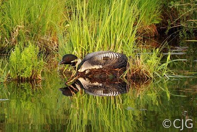 A loon on its nest.