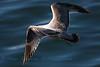 Seagull_4