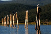 Terns & Posts, Upper Klamath Lake