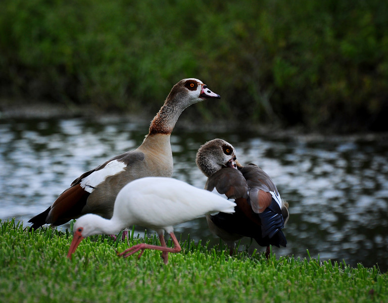 Egyptian Geese and Ibis