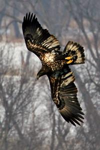 Imature Bald Eagle