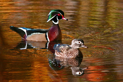FallWoodducks