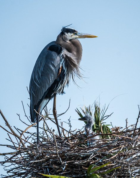 Breat Blue Heron & Chick