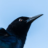 Boat Tail Grackle (M)