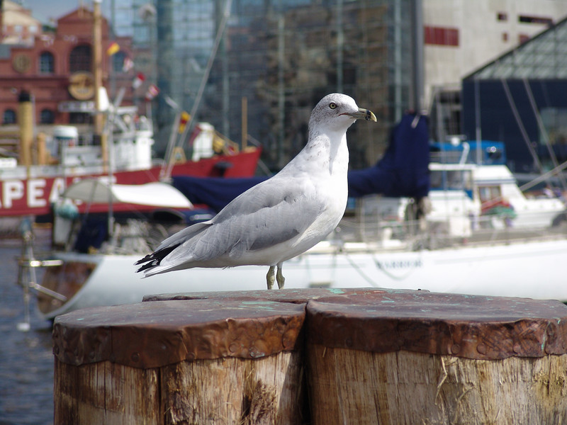 Seagull - Inner Harbor - Baltimore, Maryland