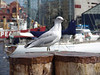 Seagull - Inner Harbor - Baltimore, Maryland