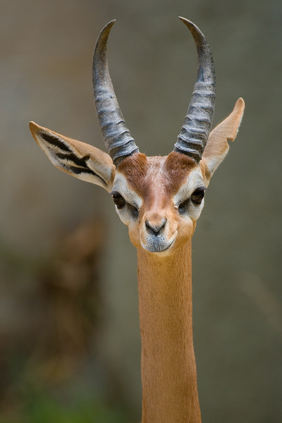 Gerenuks are common, but declining in number because they are hunted for their skins.  Don't look so sad, little Gerenuk.  I'll be back another day!