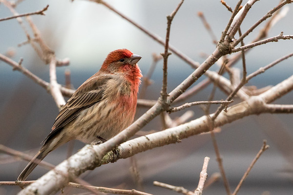Feb 4th 2018 Male House Finch