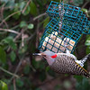 Yellow Shafted Northern Flicker