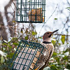 Resident Northern Flicker