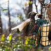 Northern Flicker and Starling