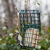 Downy Woodpecker Female