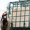 Downy Woodpecker Male - Much smaller than the Hairy