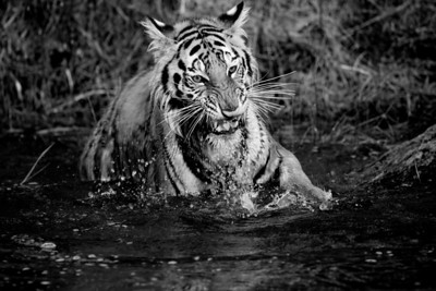 Tiger in Pond