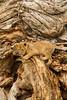Lion cub on dead tree, Kenya
