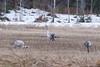 Kraanvogels op een akker, straks weer verder