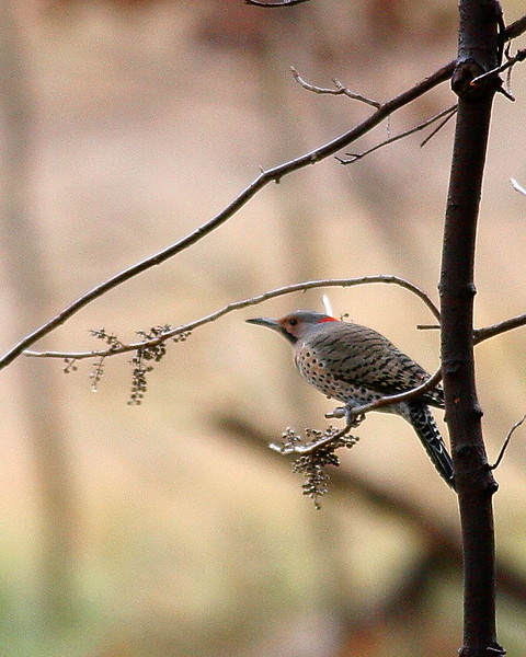 Northern Flicker on the C&O Canal