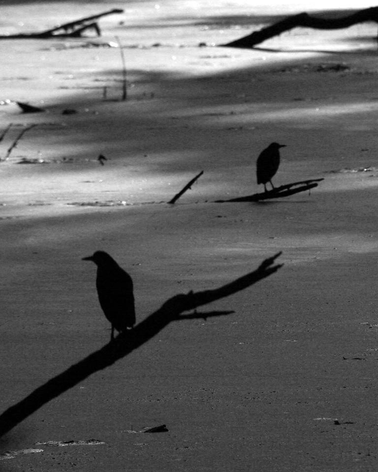 Green Heron silhouettes