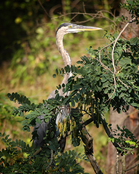 Great Blue Heron hiding along the C & O Canal.