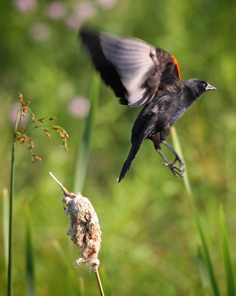 Red-winged black bird takes flight at Rocky Gap State Park