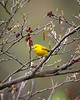 Yellow Warbler at Rocky Gap State Park