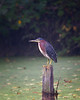 Green Heron on a post