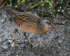 Virginia Rail at Finzel Swamp