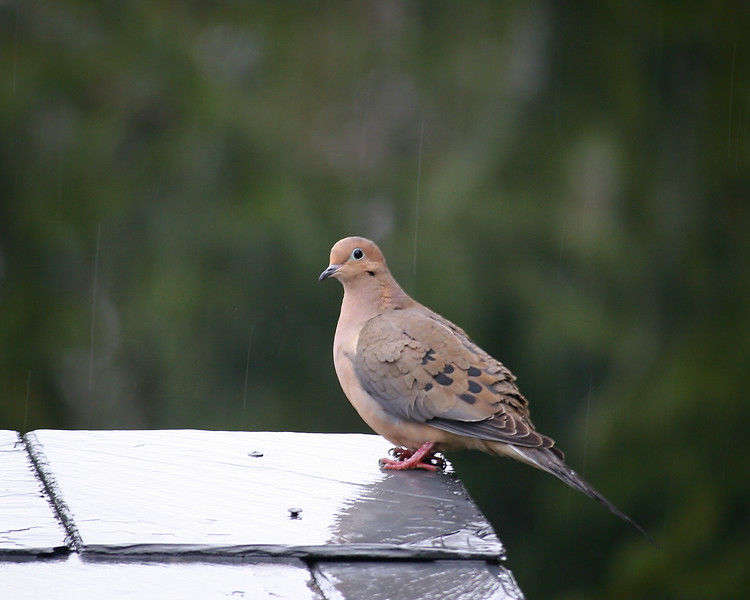 Rainy day Mourning Dove