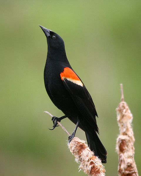 Red Winged Blackbird at Rocky Gap State Park
