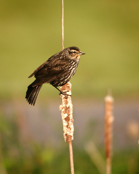 Female red-winged blackbird at Rocky Gap State Park