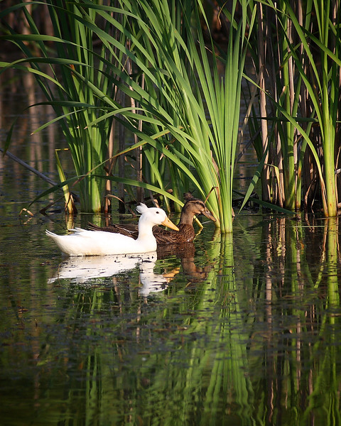 A pair of duck with matching hairstyles swim in the reeds at Rocky Gap State Park.