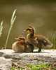 Baby ducks in Keyser, West Virginia