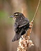 Female Red Winged Blackbird at Rocky Gap State Park