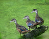 Three wood ducks
