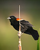 Red-winged blackbird at Rocky Gap State Park