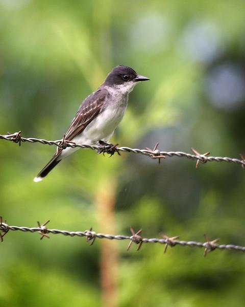 A kingbird along the C&O Canal, near Mexico Farms.