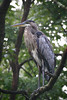 Great blue heron in a tree