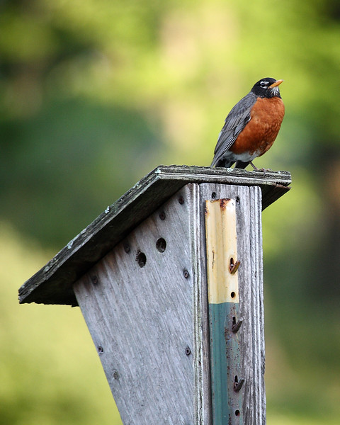 Red-breasted Robin perches at Rocky Gap State Park.