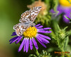 Mountain Checkered Skipper butterfly