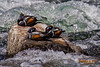 Harlequin Ducks napping in the Yellowstone River