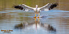 White Pelican barefoot skiing to a stop