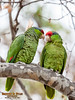 Wild Red-crowned Parrots, Irvine Park, CA