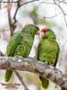 Wild Red-crowned Parrots, Irvine Park, CA