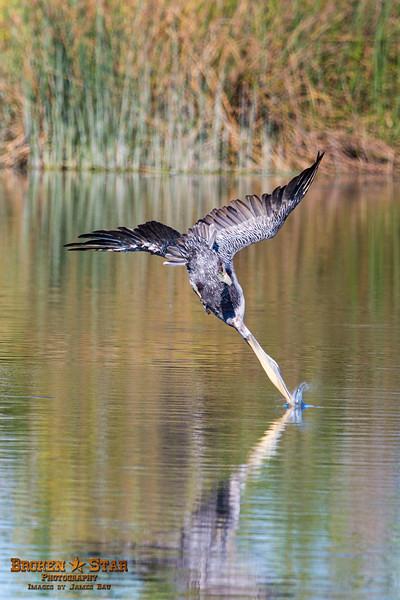 Brown Pelican diving for breakfast @ San Joaquin Wildlife Sanctuary